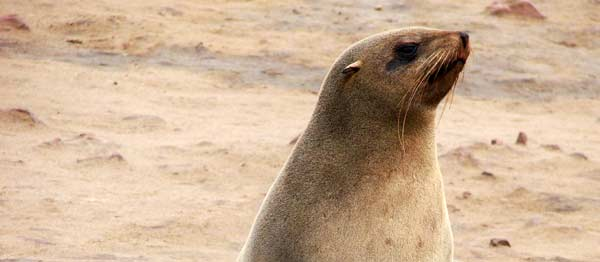 Ban the shooting of seals by fish farmers!