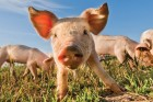 The true nature of farmed pigs