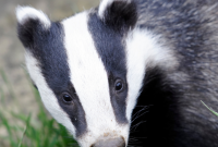Government's U-Turn To Kill Over 70,000 Badgers