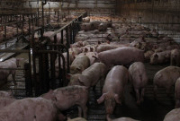 Swine Fever – should we be worried?