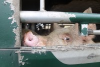 The Eyes of Pigs. Viva! Joins Bristol's 5th Pig Save