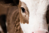 What Does Morrison's Latest PR Stunt Really Mean For Cows?