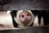 Farmed Animal Abuse Could See 5 Year Prison Sentence Under New UK Bill