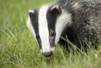 Badger Cull to Be Phased Out, UK Government Announces
