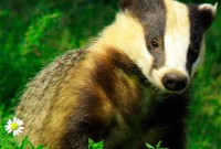 What will be in your tea when they come to gas the badgers?