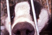 Badger in trap due to be killed by farmer