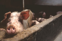 Viva! Victory: Doncaster Pig Farm Plans Rejected