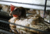 Tesco - latest supermarket to ditch hen cages!